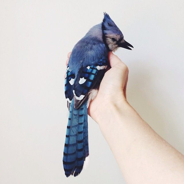 Blue Jay, Cyanocitta cristata.   Known for their intelligence and complex social systems with tight family bonds. Their fondness for acorns is credited with helping spread oak trees after the last glacial period.