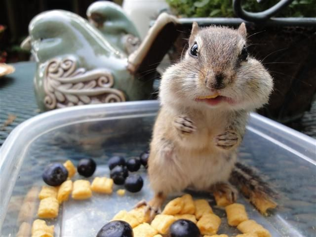 Best Chipmunk Adventures Images On Pinterest Chipmunks - Adorable chipmunks go on playful adventures with lego star wars toys