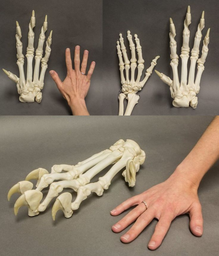 """malformalady: """" Human hand versus tiger paw. A tiger's front paws are large and strong to bring down prey. Their retractable claws can be pulled inside when this large carnivore walks. Tigers also..."""