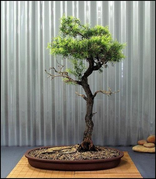 White Cloud Tree - Melaleuca Bracteata - Exotic Bonsai Tree - 10 Seeds