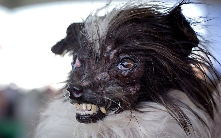 World's Ugliest Dog Contest Peanut is the winner 2014