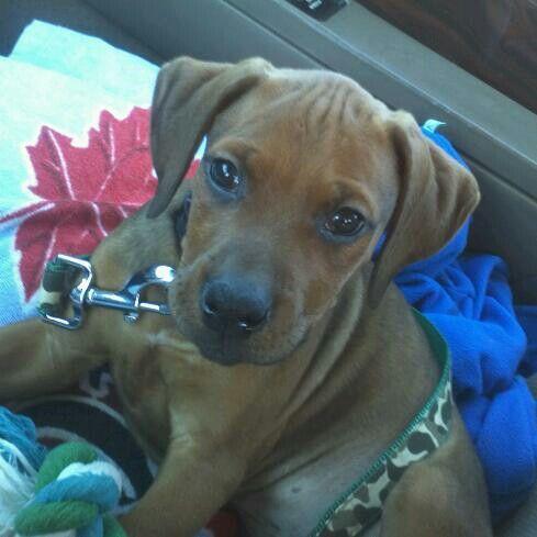 Baby cass. Doberman/boxer puppy Animals Animals