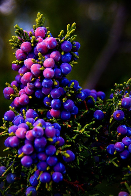 Juniper Berries ~ love the colors!