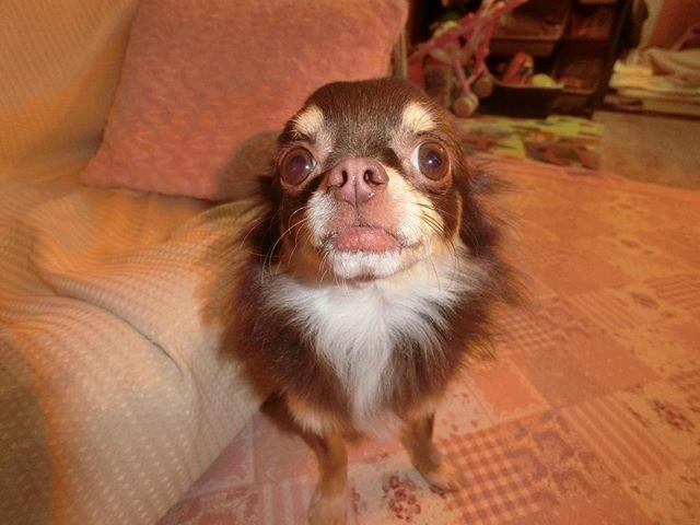 * こんばんは🌇 やっぱりデジカメむけると お耳がなくなっちゃう👂 今日は、いとこのお家に 少しお邪魔して いとこ宅のワンコに 癒されまくって もう ほんとにたまんない 老犬の独特な可愛さね やばすぎる そして なんっかいも おしっこかけられる 笑 おむつしてるから かかんないけど ちょ、おまっw ってなるよねー(๑˃̵ᴗ˂̵) 耳もあんまし聞こえてないし ヨロヨロだし ボケてきてるみたいだし グフグフいってるけど 本当に長生きしてほしい (;´д`) #chihuahua #chihuahualove#dog#dogstagram  #doglover #instadog #instapet  #愛犬#instapic#lovemydog #cute #happy #チワワ #ロングコートチワワ #チョコレートタン #チョコタン #チョコタンチワワ#犬バカ部 #ふわもこ#peco犬部#親バカ#親バカ部#家族#family #お利口犬 #アンダーショット #ヘタレ #ヘタレ犬 #いんすたわんわん