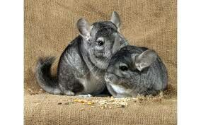 50 fun facts about chinchillas for kids. If you are looking for some interesting and fun facts about chinchillas to help with a project or maybe you are just curious about them, then here are '50 fun facts about Chinchillas for kids' to help you get to know them that much better.