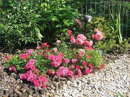 Ruža pôdokryvná Lovely Fairy, v črepníku 2 litre Rosa Lovely Fairy