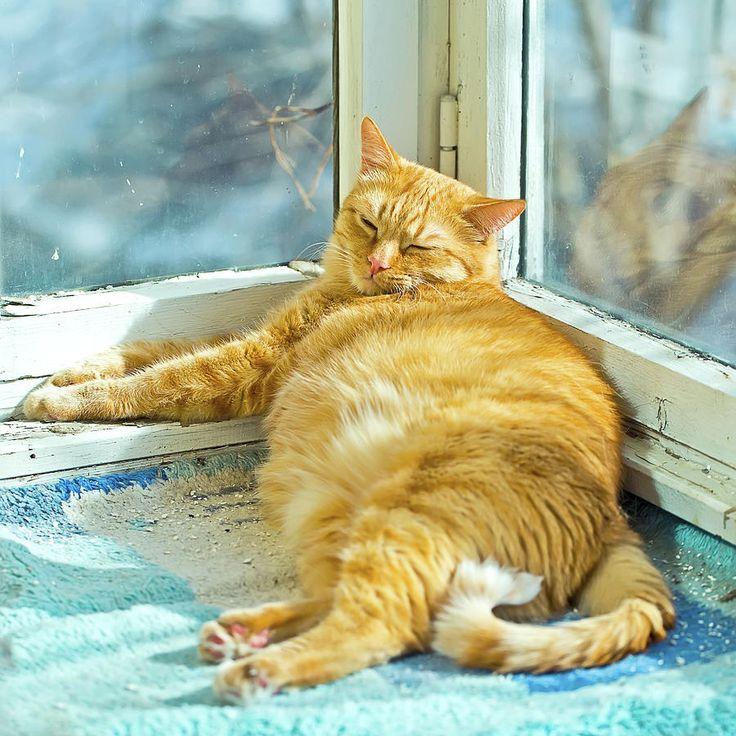 Oksana Ariskina Photograph - Fat Ginger Cat by Oksana Ariskina  #OksanaAriskinaFineArtPhotography #Cat #Pet #ArtForHome #Ginger #Funny #FineArtPrints #InteriorDesign #PrintsForSale