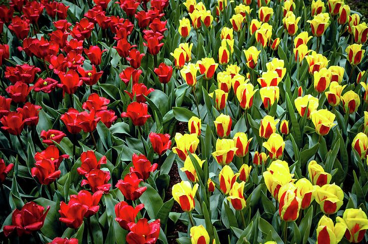 Yellow-red Tulip Carpet Photograph by Jenny Rainbow