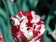 HGTV Gardens offers a peek of spring in our tulip photo gallery.