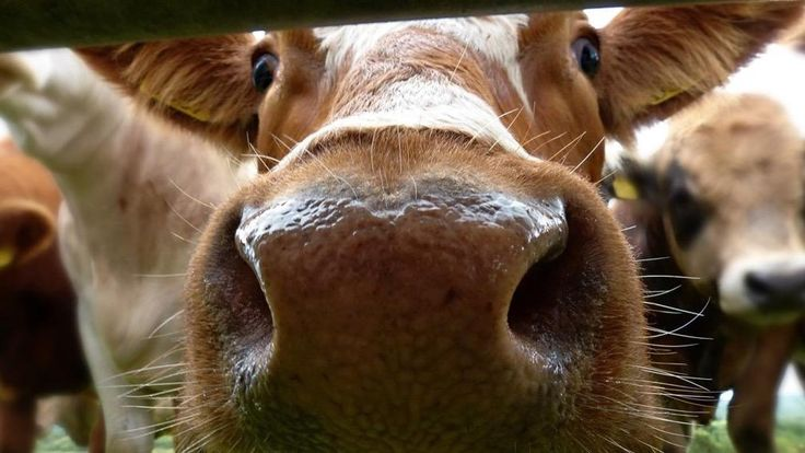 Survey Finds Some People Think Chocolate Milk Comes from Brown Cows #angelsfoodparadise