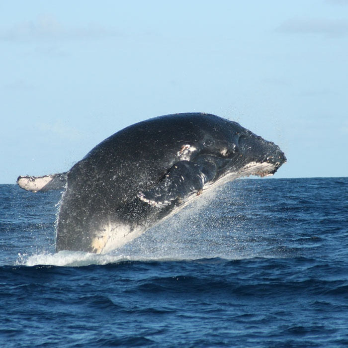 Humpback Whale - Mozambique http://www.mozambique.co.za/