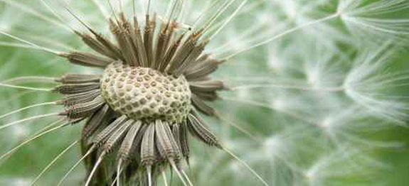 Le pissenlit : Une plante anti-cancer. Parait-il 100 fois plus efficace que la radiothérapie !
