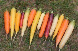 Eko Morötter 'Morotsmix av flera sorter' Blandning av olika sorter med vit, gul, orange, röd eller lila färg. Olika tidighet på sorterna gör att skörden börjar tidigt och sträcker sig långt fram på hösten. OBS! Alla sorterna går att köpa var för sig, så säg till om ni vill ha en speciell färg istället för mixen. 13kr