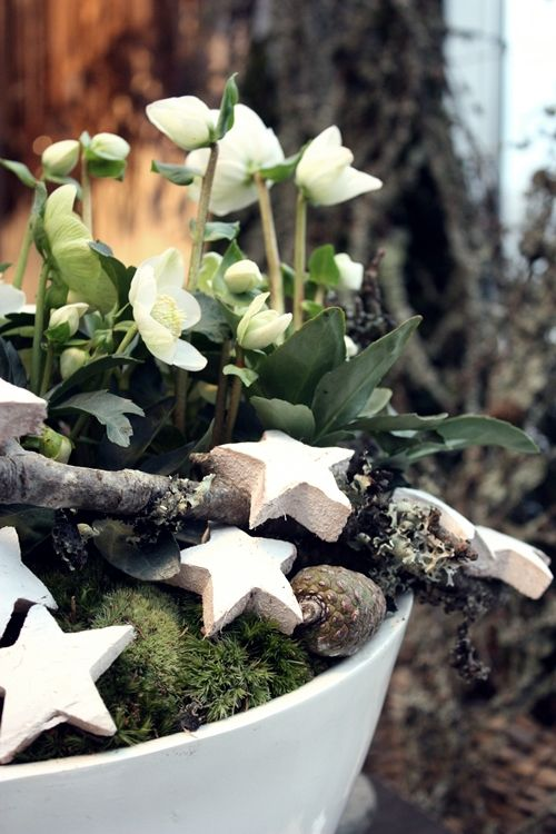 White Living   Christmas rose (Lenten rose) potted with bits of nature