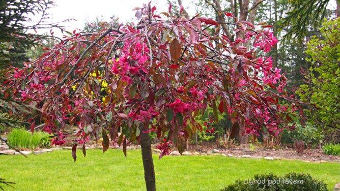 Szczepione Drzewa I Krzewy Ogrodowe Bardzo Malownicze Zajmujace W Ogrodzie Niewiele Miejsca Wolno Rosnace Drzewka Ktore Plants Flowers Love Lies Bleeding