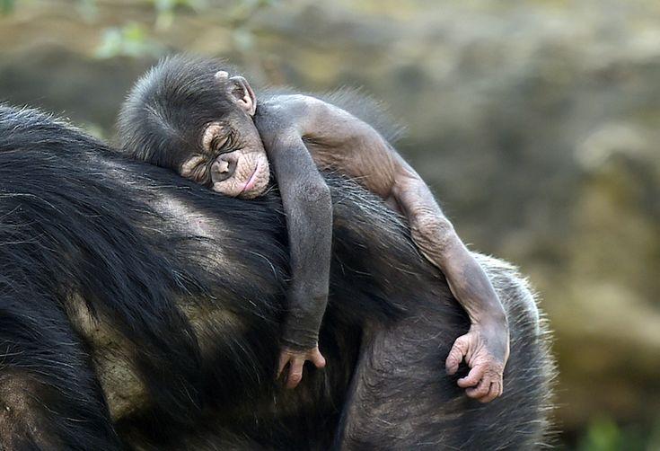 Un cucciolo di scimpanzé di nome Dayo dorme sulla schiena di sua madre nello zoo di Gelsenkirchen, in Germania. (AP Photo/Martin Meissner) - Spiumato ma felice - Il Post