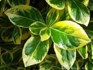 Aranytarka levelű örökzöld japán kecskerágó - 1000 Ft