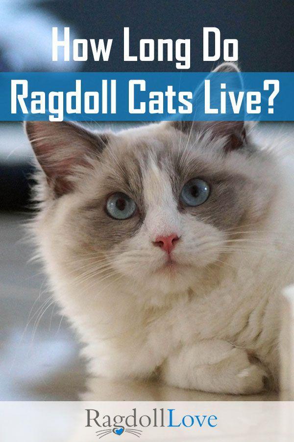 How Long Do Ragdoll Cats Live Ragdoll Cat Ragdoll Cat Breed Cat Care