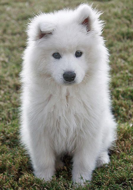 Hypoallergenic!! samoyed ♥ saw thiz on my way home the other day thought he was a lawn lion lmao turns out he was a real dog