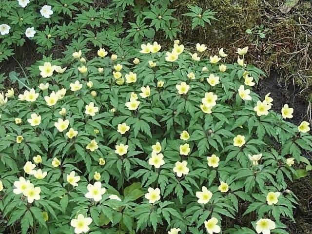 ANEMONE ranunculoides - Anemone (MS) - Lundhede Planteskole