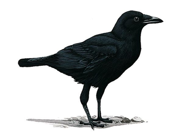crow - Google Search