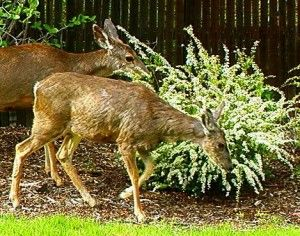 Organic Deer Repellent Recipe – Non-Clogging : TKD Recipes | Men in the Kitchen
