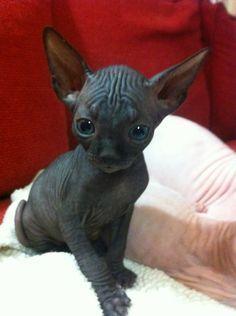 Oh Neptune, it's so wrinkly and cute!!! Black sphynx kitten