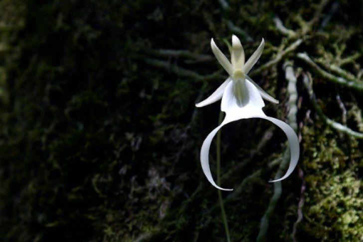 Científicos buscan rescatar a la orquídea fantasma de Florida