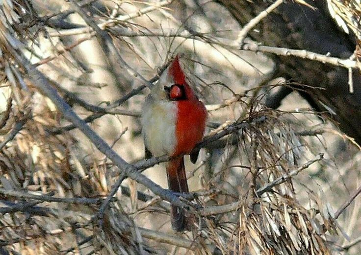 From I fucking love science on FB a gynandromorph cardinal, half male, half female.