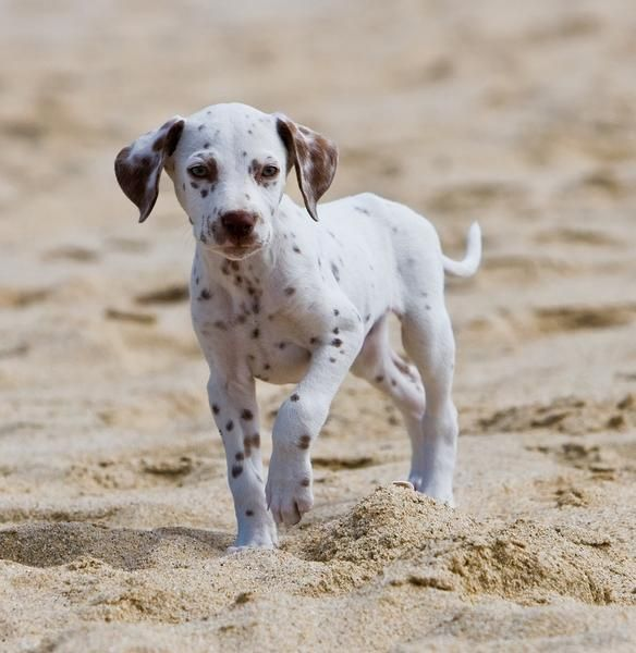 Dalmation pup on the beach