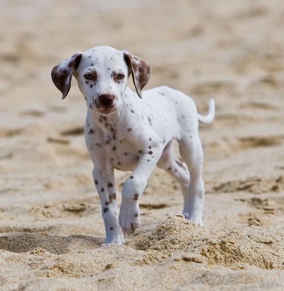 #Dalmatian puppy sand