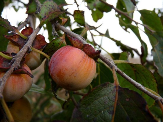 how to grow american persimmon fruit tree