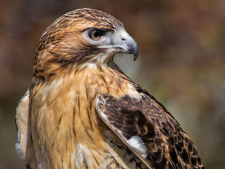 23 best red tailed hawk images on pinterest red tailed - Red tailed hawk wallpaper ...
