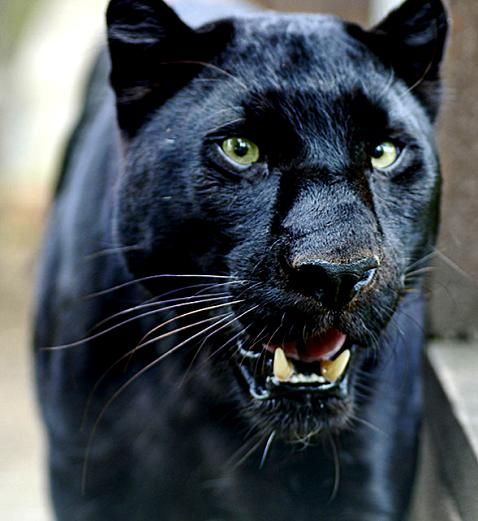 Fotos de panteras negras