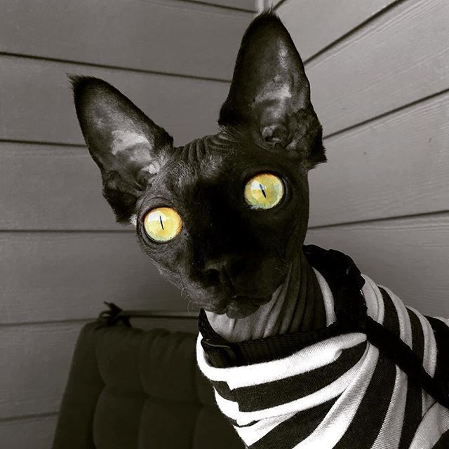 One of the most beautiful sphynx's I've ever seen  #Repost @severinthestrange  How much do YOU love your cat? ❤️ Get our Limited Edition Sphynx Cat Clothing Now --> Link in bio  Multiple colors available  ONLY DAYS UNTIL SALE ENDS!!!sphynxunlimited