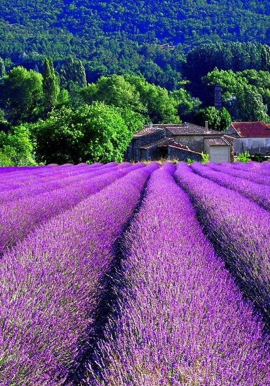 Lavender fields, France