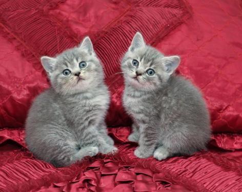 BKH mit EXCELLENTEM STAMMBAUM in Rheinland-Pfalz - Grenderich   Britisch Kurzhaar Katzenbabys kaufen   eBay Kleinanzeigen