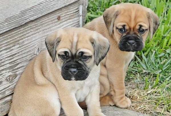 Pug and Cocker Spaniel Pucker Two Heads are Better than