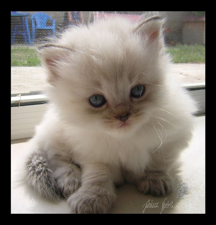 Ragdoll kitten - these nuggets are hypoallergenic and don't shed as much as other cat breeds. Also they're fluffy, and adorable, and will be mine.