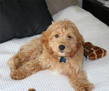 Google Image Result for http://puppydogweb.com/gallery/cockapoos/cockapoo_katy.jpg