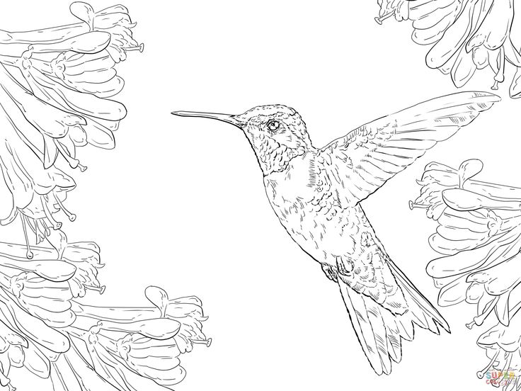 Realistic Ruby Throated Hummingbird coloring page ...