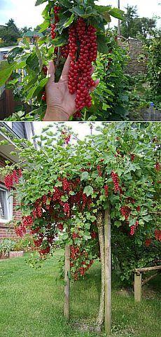 (+1) тема - Новый способ выращивания кустов смородины, крыжовника и других. | 6 соток