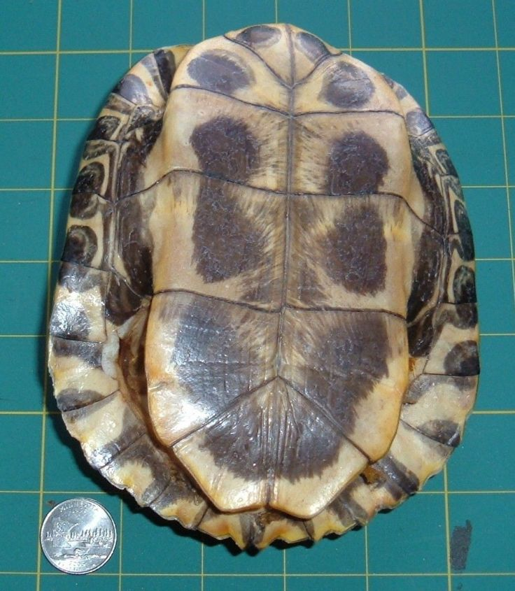 Belly side of a red ear turtle shell prior to cutting into knife handles.