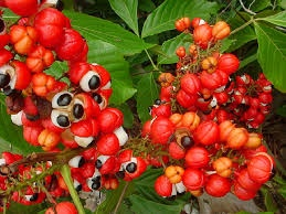Guarana which is also known as Paullinia cupana, or Brazilian cocoa, develops from a plant found in the northern a part of Brazil and Venezuela, in the Amazon rainforests. The plant is a small shrub that's
