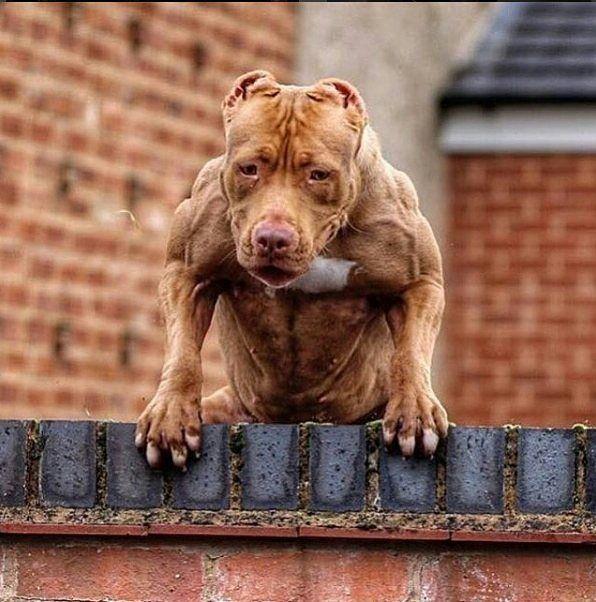 Jacked Pitbull Pitbull Terrier American Pitbull Terrier Dog