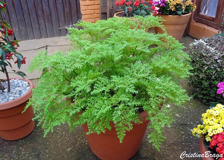 Brilhantina – Pilea microphylla - Herbácea com folhas Folhas pequenas, brilhante e carnosas ...