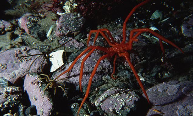 The mystery of the GIANT SEA SPIDERS emerging in Antarctica baffle scientists | Daily Mail Online