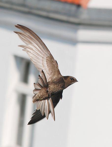 Vogelarten in der Schweiz: Mauersegler