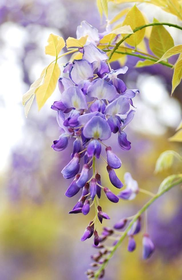 Wisteria By Eyesfornature So Beautiful But So Invasive In 2020 Beautiful Flowers Flowers Photography Flowers Nature