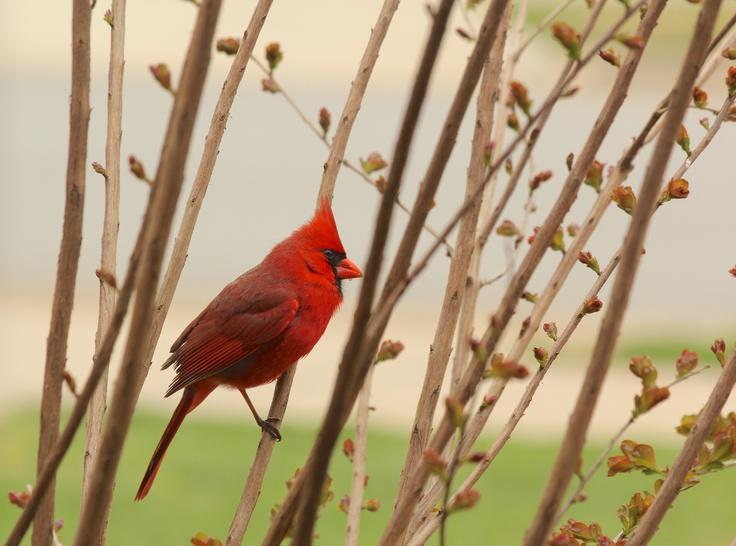 Cardinal Amateur 48